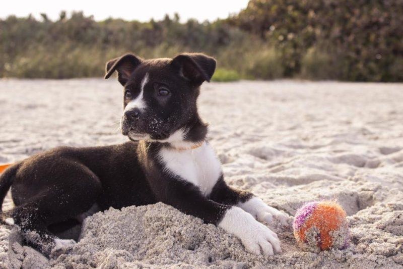 ビーチでボール遊びをする犬